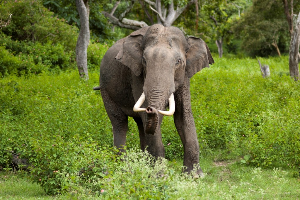 A full grown tusker at Bandipur