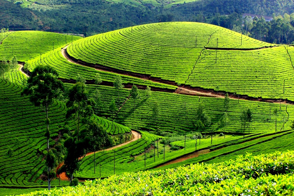 Savour some tea on the misty peaks of Munnar, a must do on any South India tour