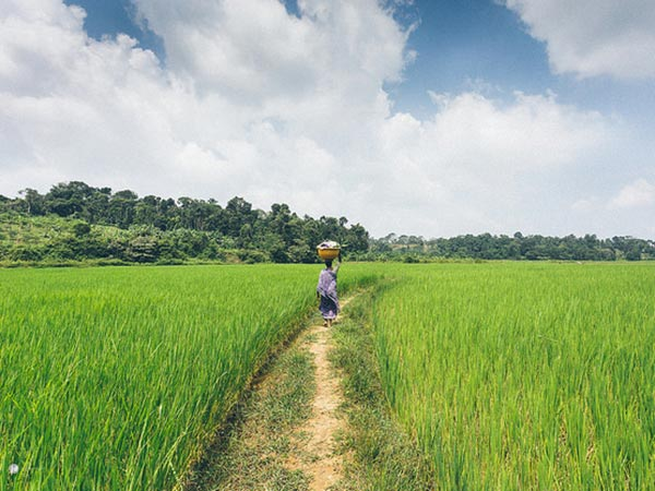 A walk through the rice fields is a must do thing to do in Coorg