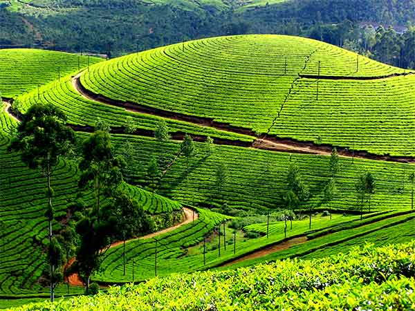 A Hop on hop off tour across Kerala is incomplete without a visit to a tea plantation